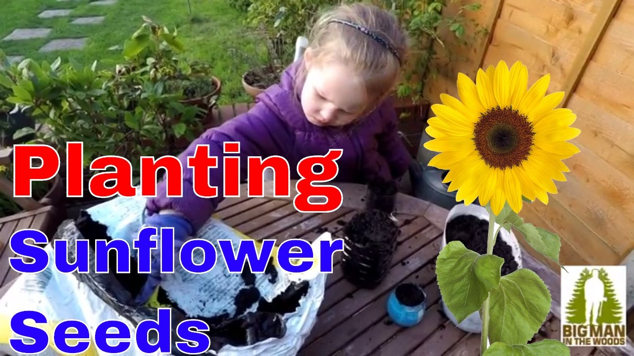 Planting sunflowers seeds using recycled bottles
